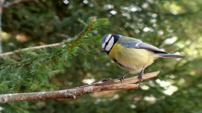 Image of a small blue and yellow bird in a tree from our RSPB TV ad